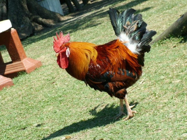 Rooster at Flag Animal Farm Ballito